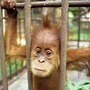 Orangutan_traffic