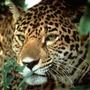 Cockscomb jaguar