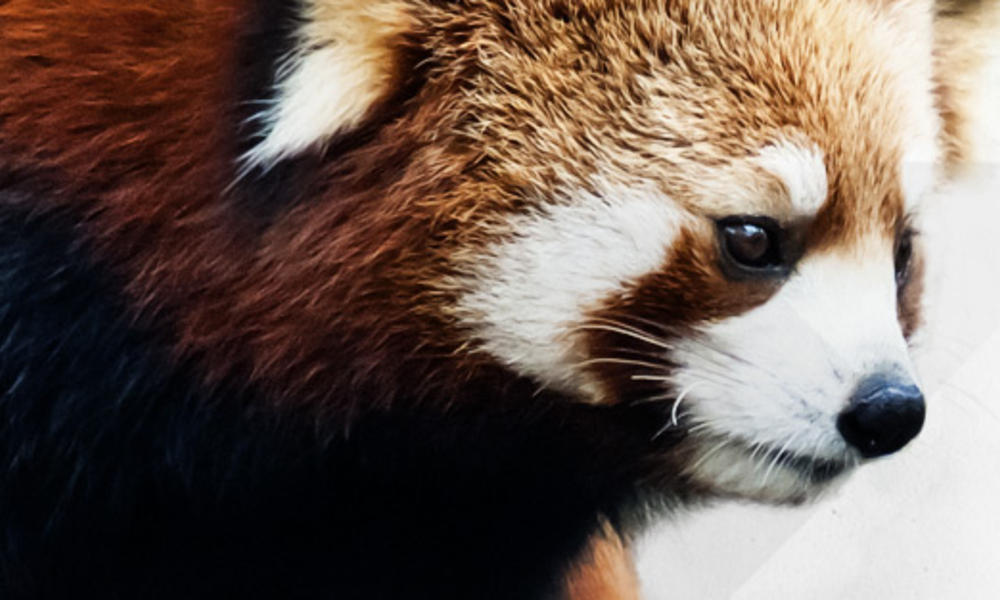 Where do red pandas live? And other red panda facts
