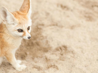 fennec fox sits in sand