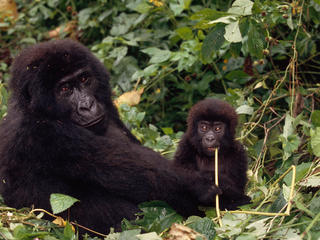 Congo Basin Gorilla