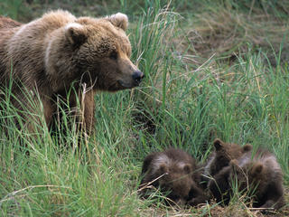 Brown Bear and Three Cubs