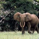 African forest elephant in Gabon