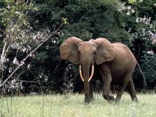 African forest elephant, Gabon