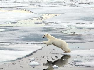 polar bear jumps over water