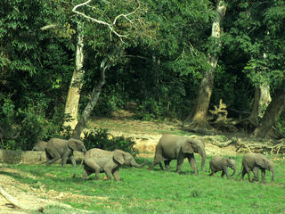 Forest Elephant Threats