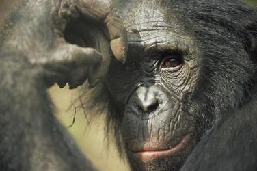 Bonobo heroxl 257731