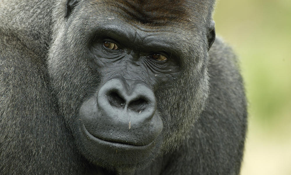 http://assets.worldwildlife.org/photos/1028/images/story_full_width/western-lowland-gorilla-heroHI_279168.jpg?1345535856