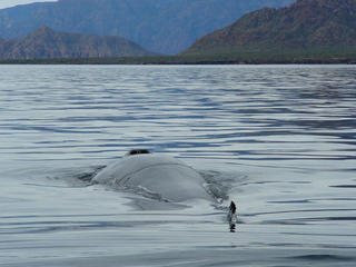 Fin whale (Balaenoptera physalus) surfacing, blowhole and dorsal fin visible, Isla del Carmen (island), Baja California, Mexico (Gulf of California Ecoregion)