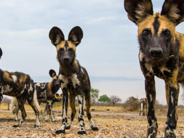 African Wild Dog - Pictures, Diet, Breeding, Life Cycle, Facts ...