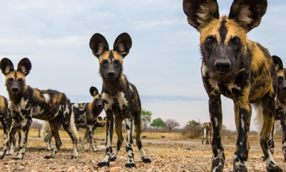 African Wild Dog | Species | WWF