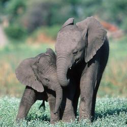 2015 11 drtv elephant