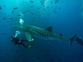 Gulf of California Whale Shark monitor