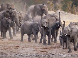 african elephants in KAZA