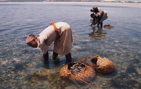 Women gleaning sand oysters in Mozambique