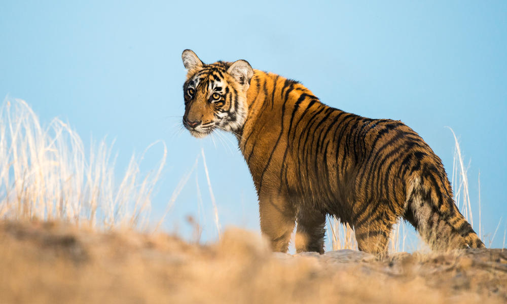 For the first time in 100 years tiger numbers are growing