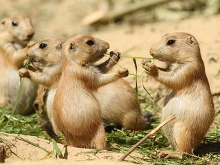 prairie dogs eating