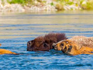 bison wading