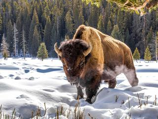 lone bison in the snow
