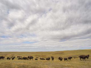 bison at fort peck