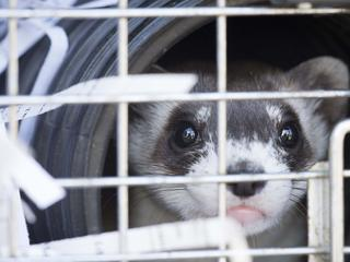 black footed ferret awaiting release