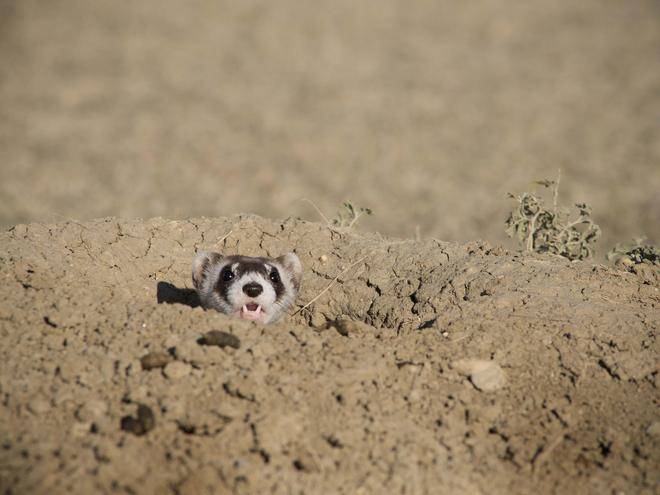 black footed ferret pops head up