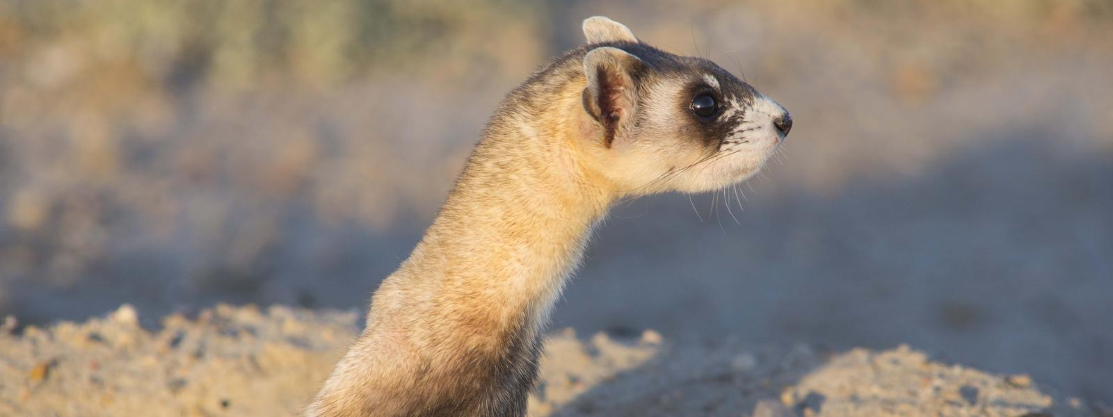 Save A Black Footed Ferret 61