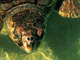 Head of Loggerhead turtle