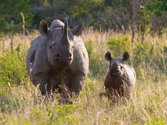 Black_rhino_and_calf_wwf-sa