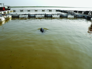 Dolphin in an enclosure by the lake, waiting to be translocated