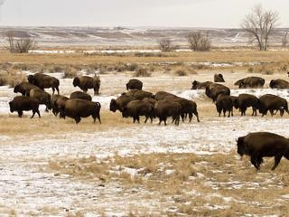 bison group