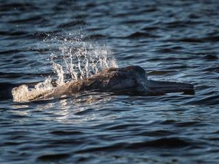 river dolphin in orinoco