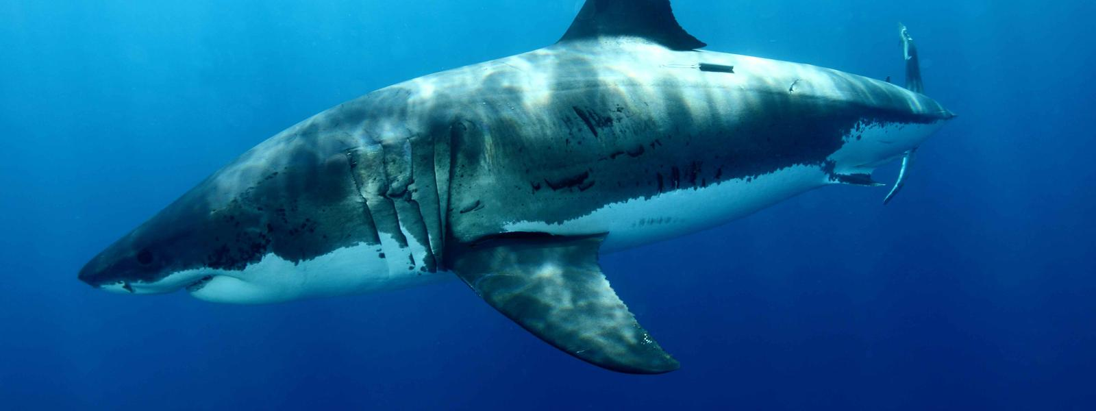 images of great white sharks - photo #19
