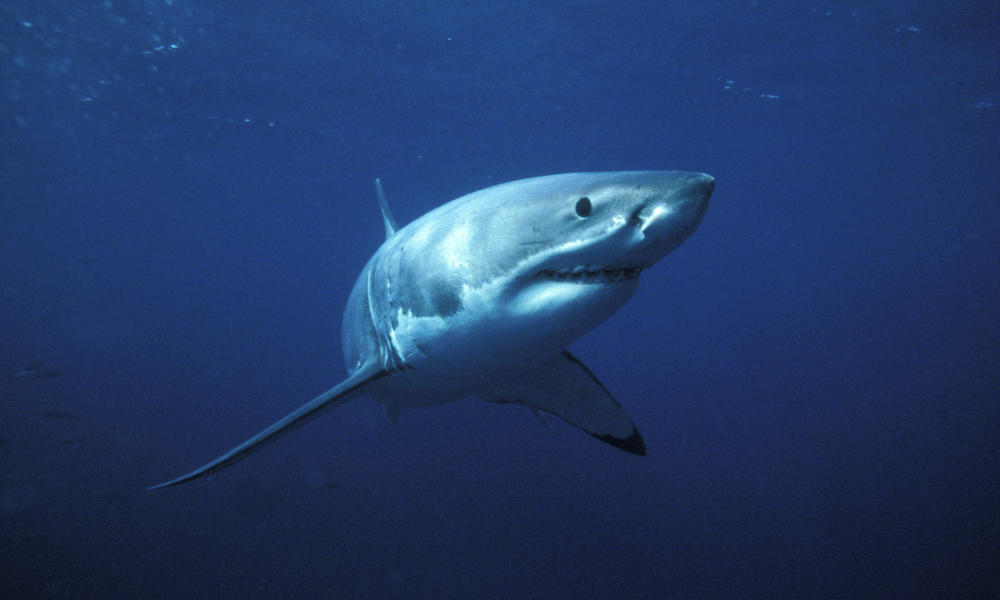 Great_white_shark_7.30.2012_whytheymatter_hi_111754