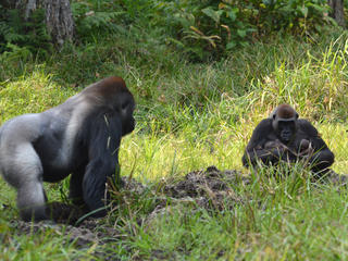 Gorillas Malui and Makumba with their twins