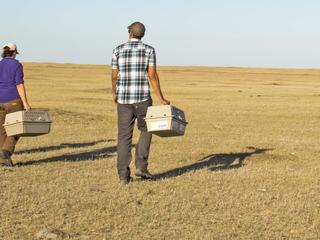 black footed ferret release
