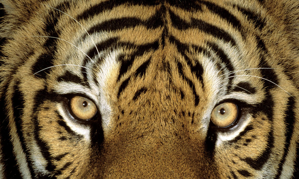 Tiger closeup