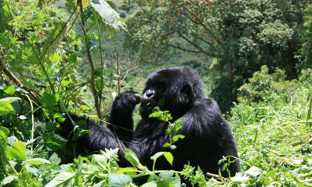 Gorillas Eating Gorillas help maintain forests