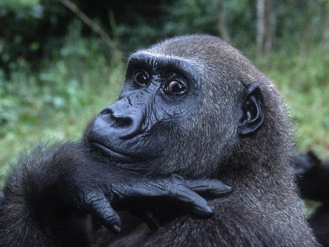 Portrait of a Western Lowland Gorilla in Gabon