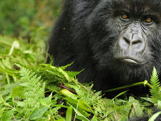 Portrait of a young female gorilla in Rwanda