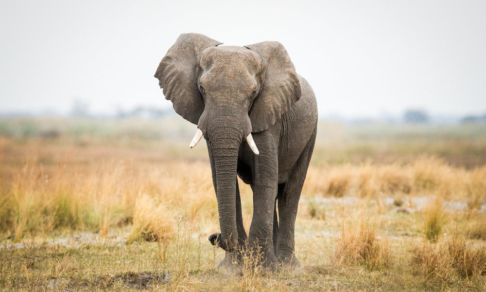 What is ivory and why does it belong on elephants? | Stories | WWF