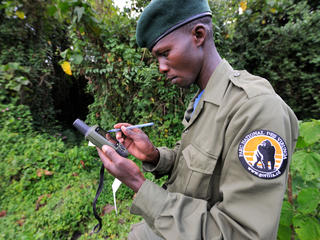 Guard with hand held GPS device for recording gorilla locations