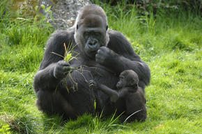 western lowland gorilla threats