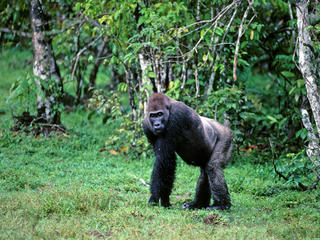 Western Lowland Gorilla What WWF Is Doing