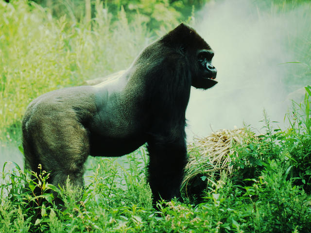 eastern lowland gorilla hero and circle image