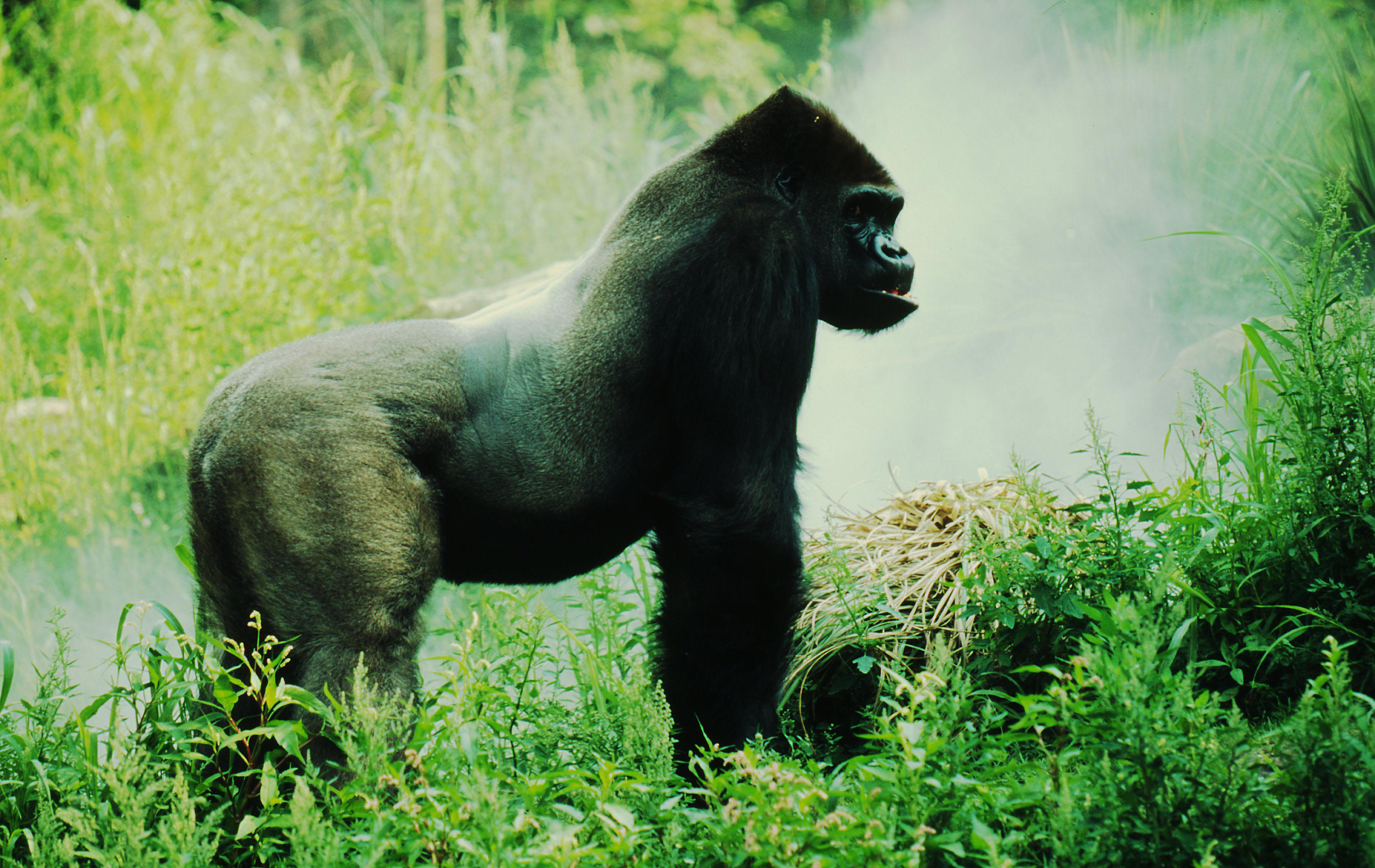 Eastern Lowland Gorilla | Species | WWF