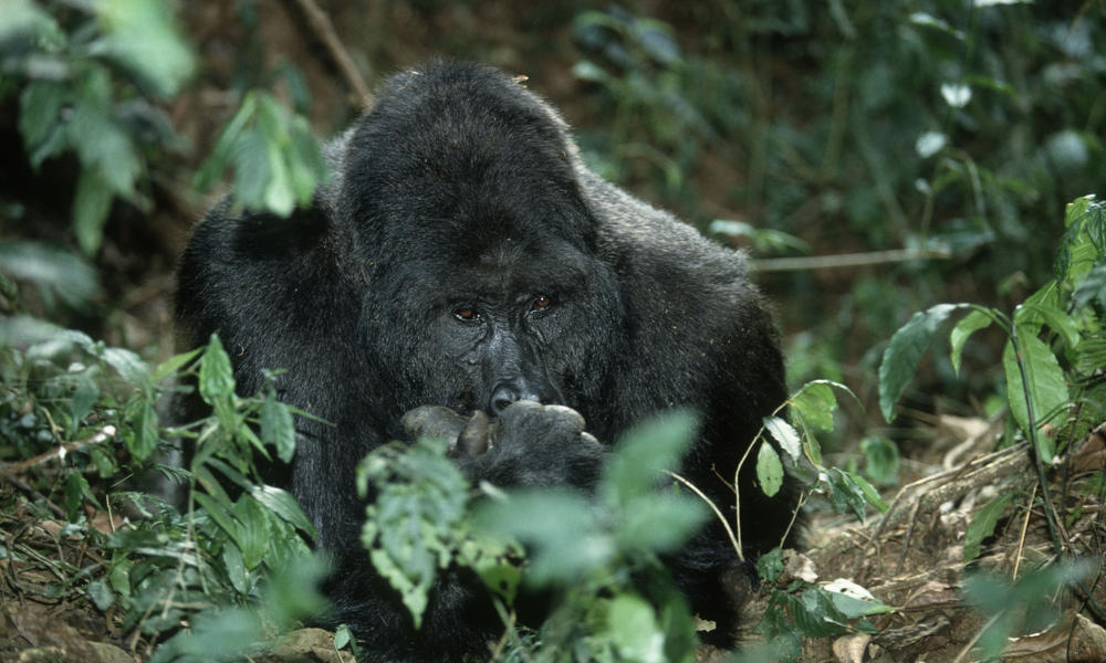 eastern lowland gorilla threats