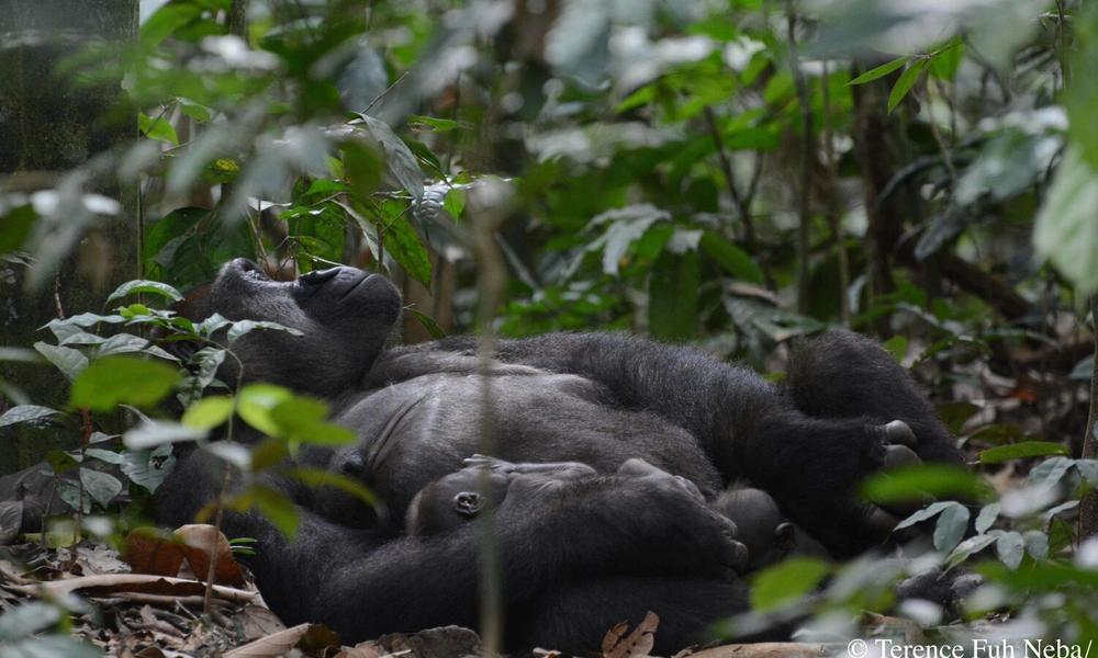 Gorilla twins with their mother