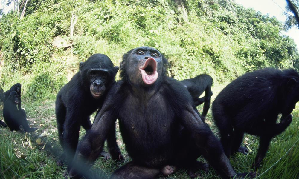 Blanco Nuclear - Votación de Baneo DEFINITIVO  - Página 5 Bonobos_7.31.2012_a_unique_social_structure_XL_257729