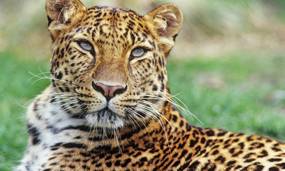 Facts About Leopards
